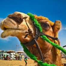 The camel|||Camel at beach.